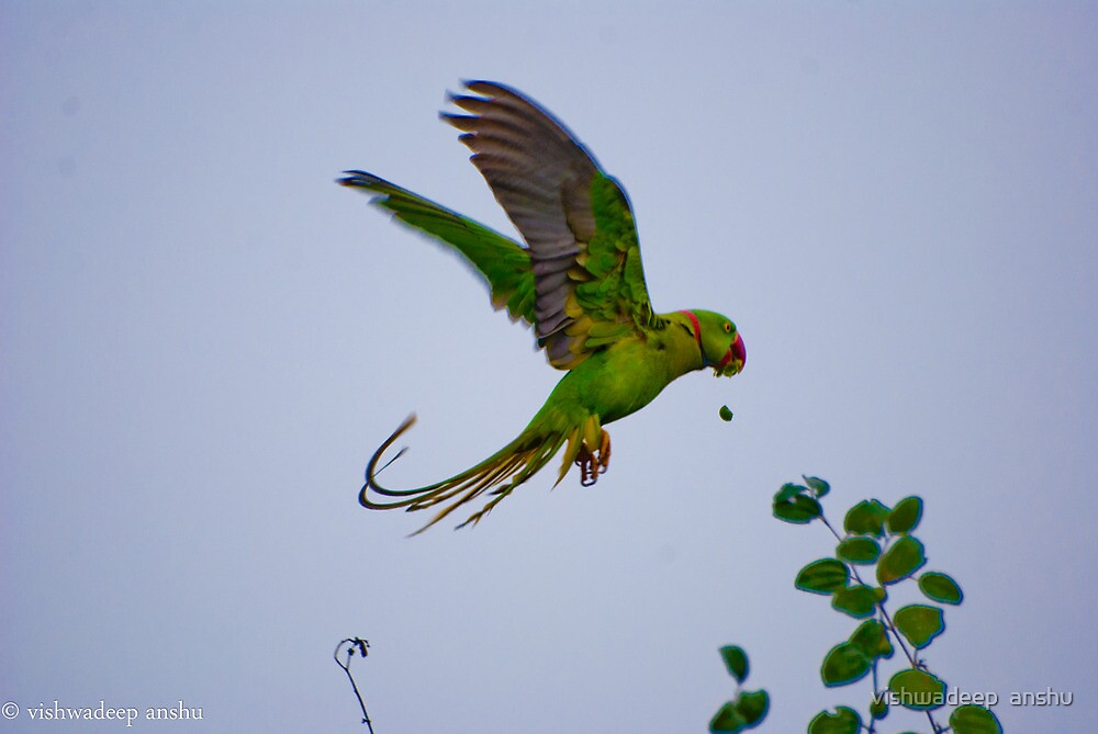 parrot's lunch by vishwadeep  anshu