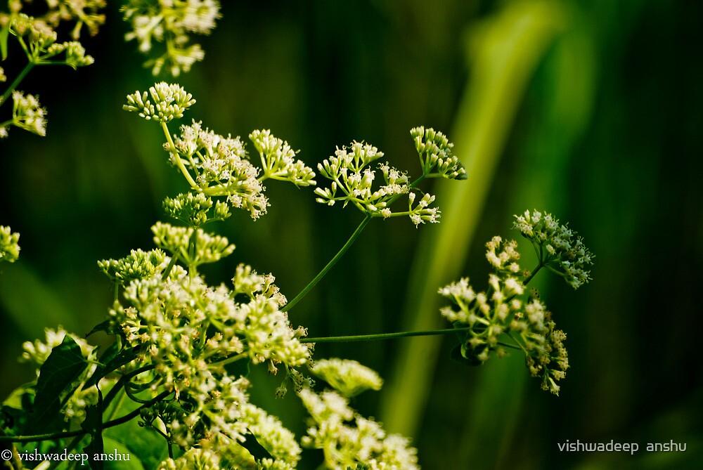 white flowers by vishwadeep  anshu