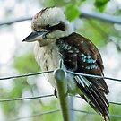 Kookaburra by Maree Toogood