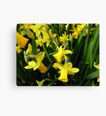 The Yellow Daffodil Choir Canvas Print