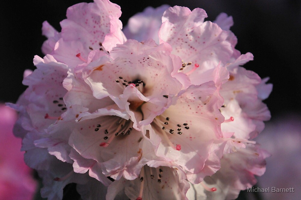 Rhododendron at Cloudehill by Michael Barnett