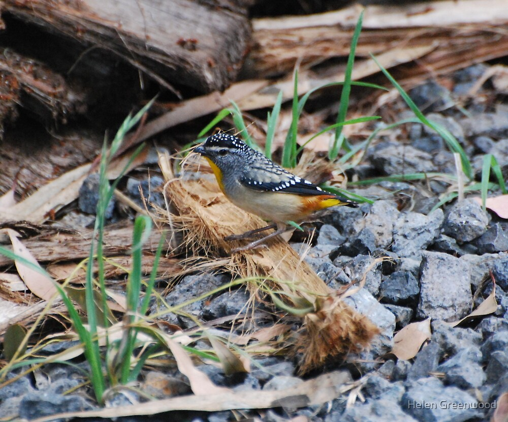 Spotted Pardalote by Helen Greenwood