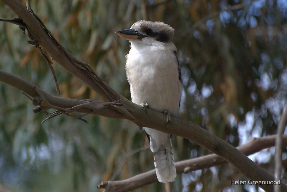 Sunlit Kookaburra by Helen Greenwood