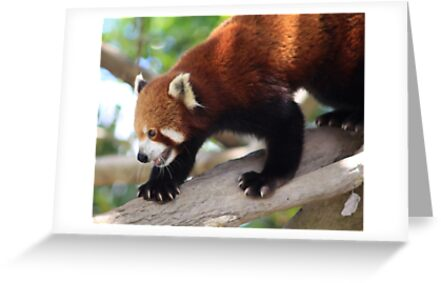 Red Panda by smallan