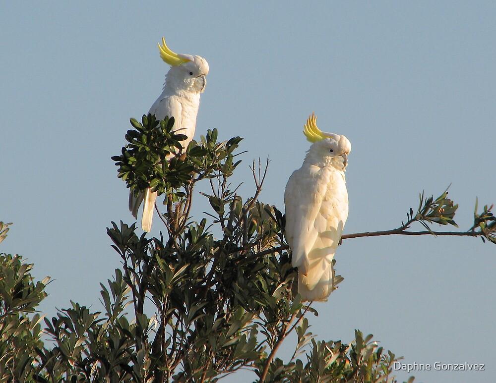 Cockatoos at dawn by Daphne Gonzalvez