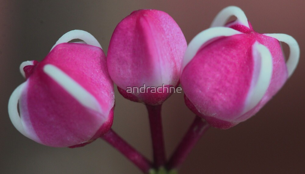 Melicope elleryana by andrachne