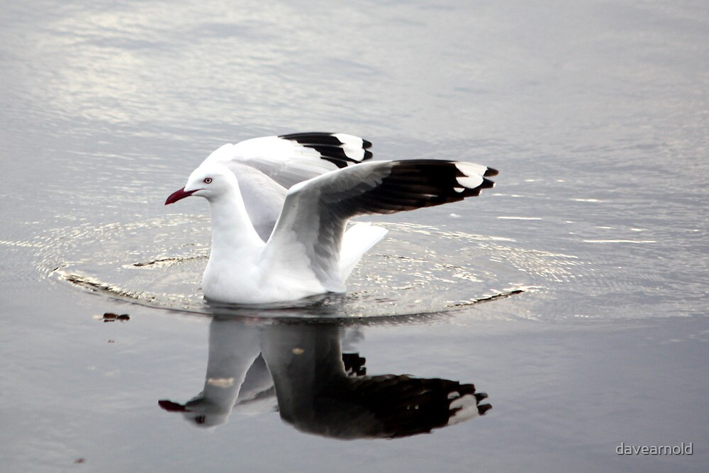 Seagull reflection by davearnold