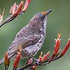 Little Wattle Bird by inthewild