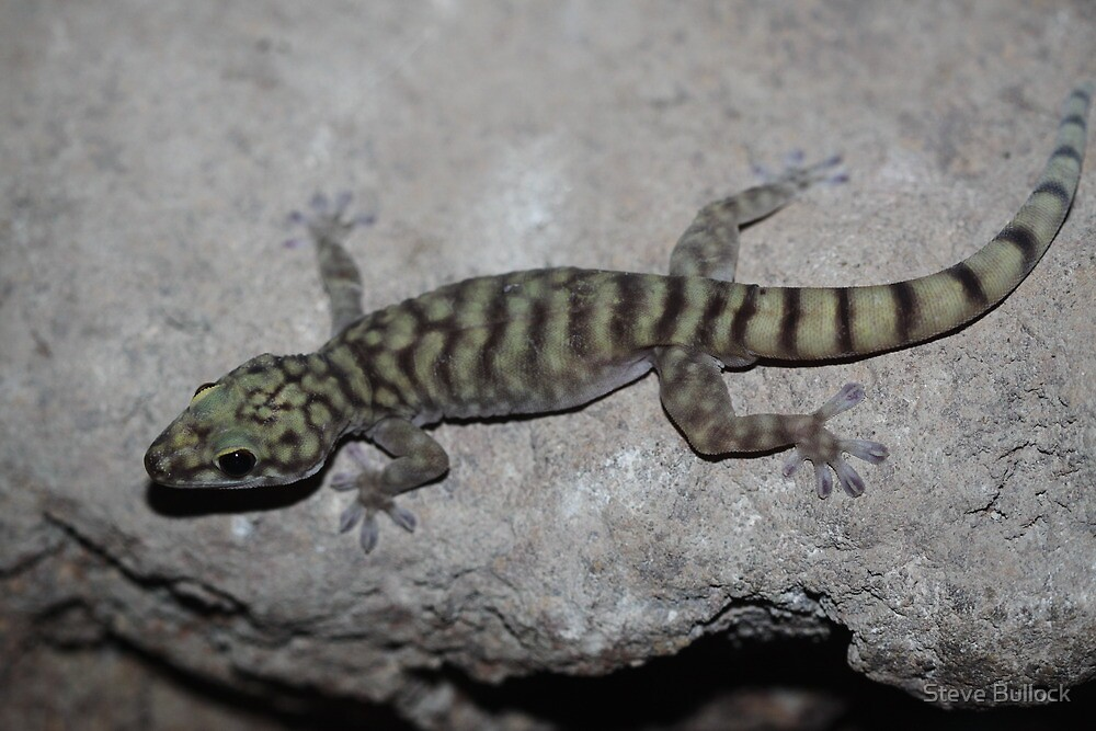 Cave Gecko by Steve Bullock