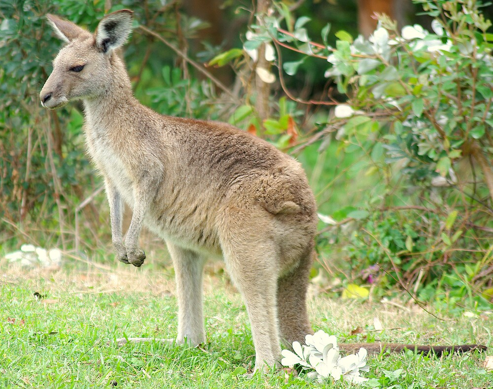 Kangaroo by Grunto
