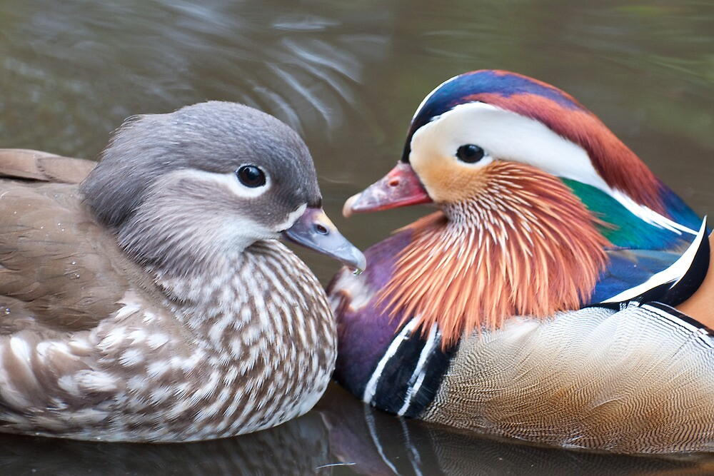 Mr & Mrs Mandarin by Ann Miller