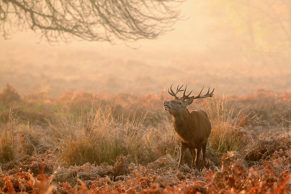 Red Deer Stag in the early morning mist by Doddery