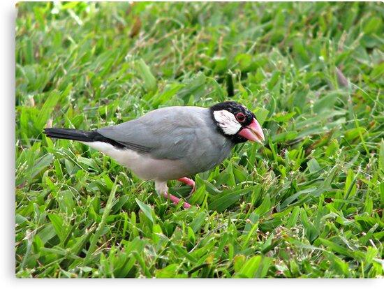 Java Sparrow by Brenda Boisvert
