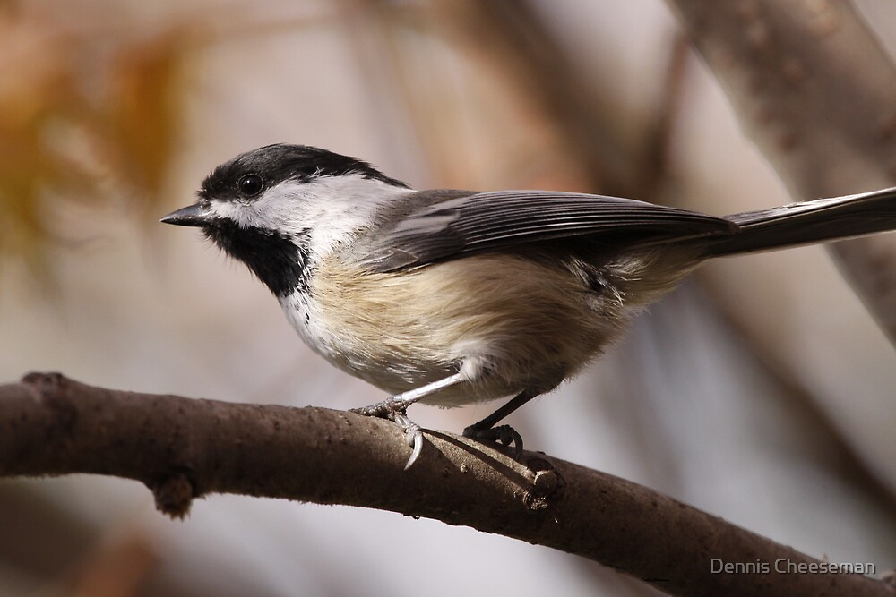 Black capped Chickadee by Dennis Cheeseman