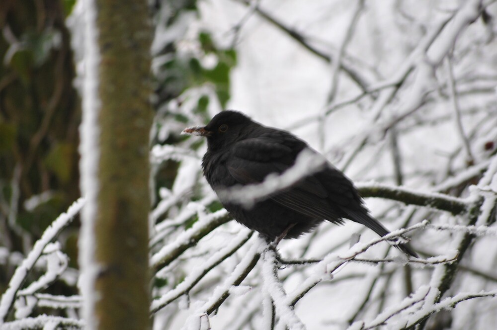 Blackbird  by Barry  Spear