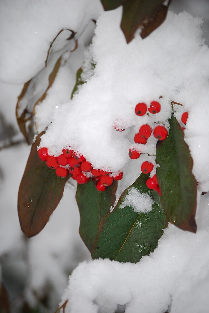 Red Berries by Sarah Fenn