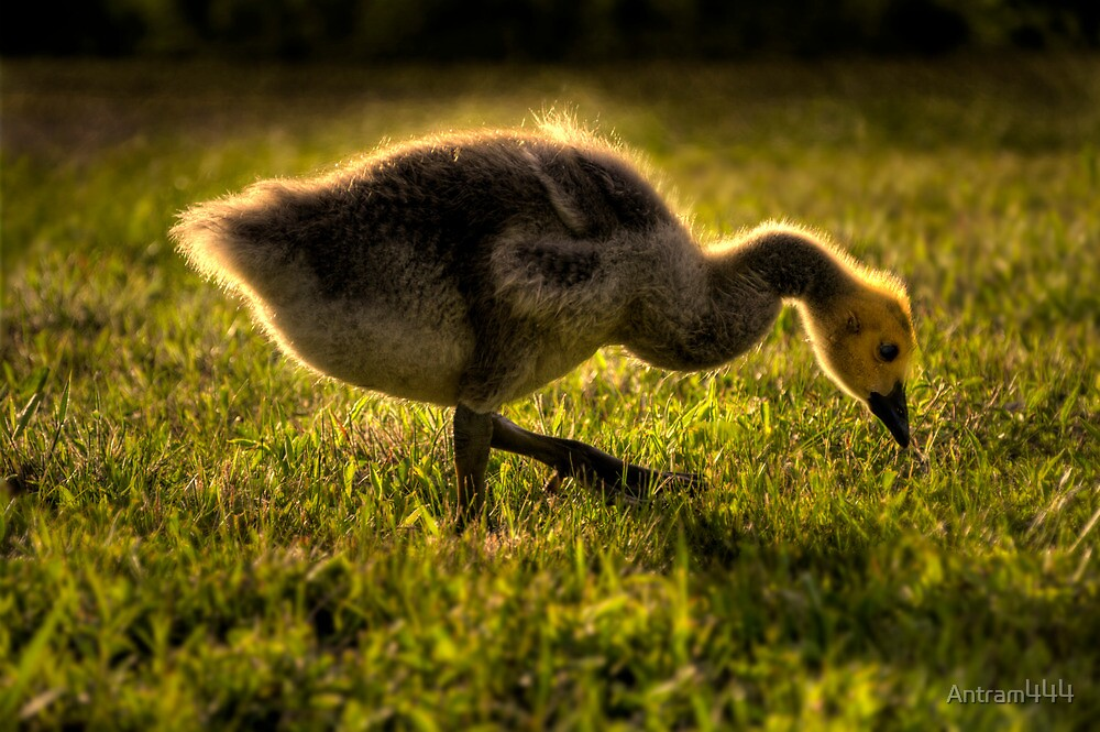 A baby goose in spring by Antram444