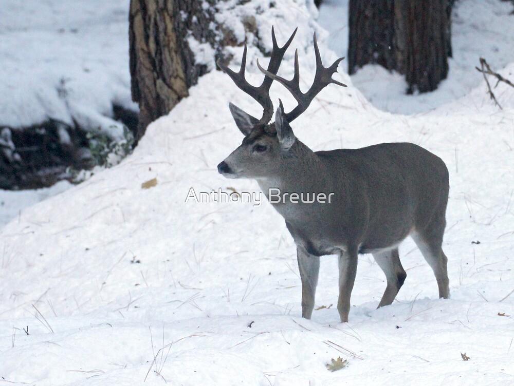 Yosemite buck by Anthony Brewer