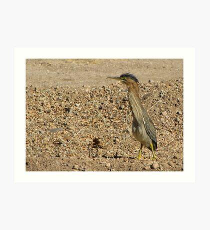 Green Heron (Juvenile) Art Print