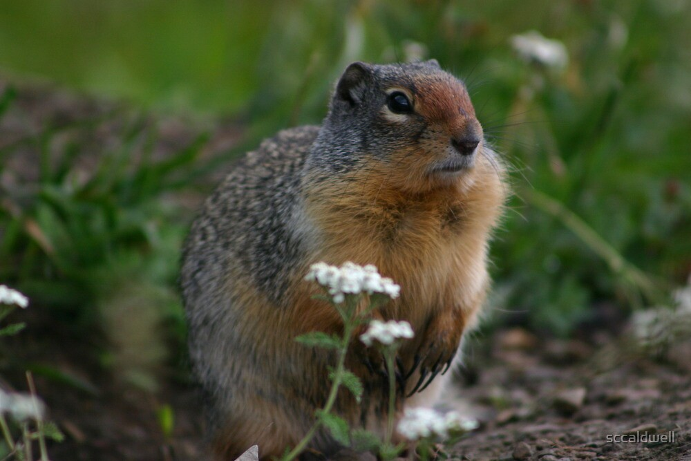 Columbian Ground Squirrel - Glacier NP, Montana by sccaldwell