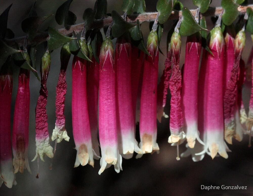 Epacris longiflora - Christmas bells by Daphne Gonzalvez