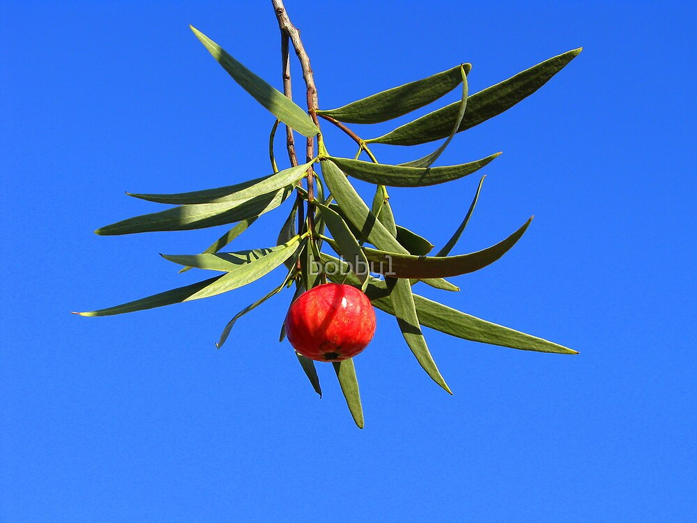 Quandong by bobby1