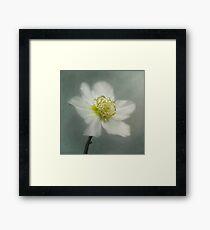 Helleborus niger Framed Print