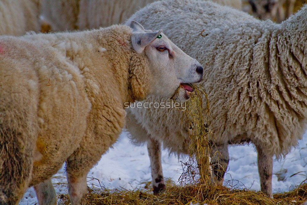 Winter feed - sheep by suecrossley