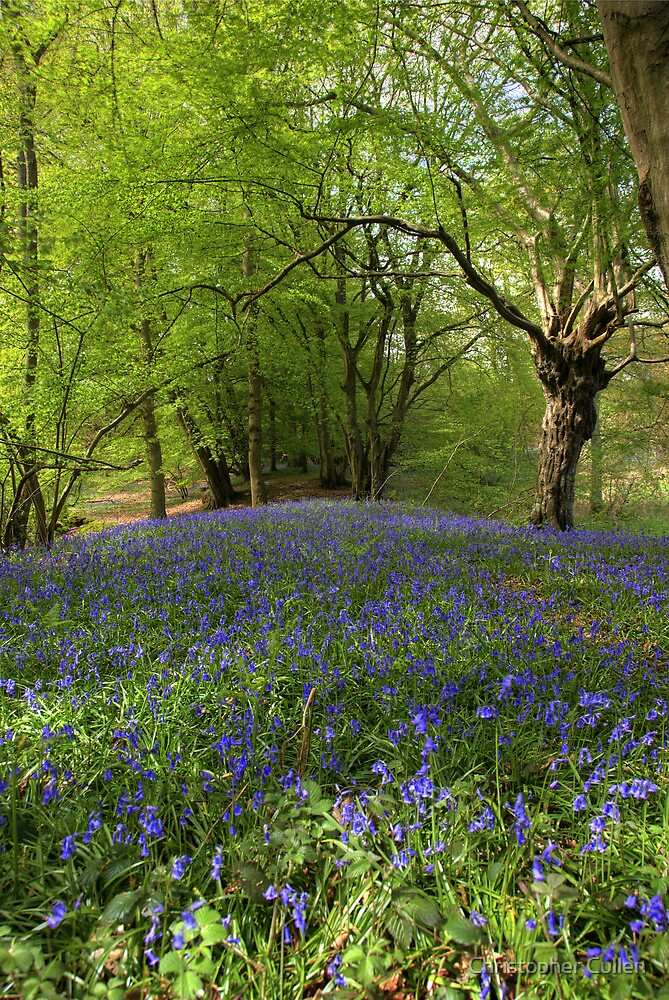 A Suffolk Bluebell Wood by Christopher Cullen