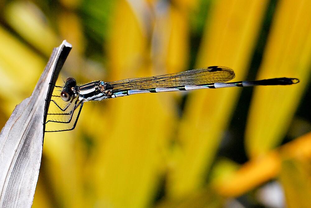 Dansel Fly  by jodik75