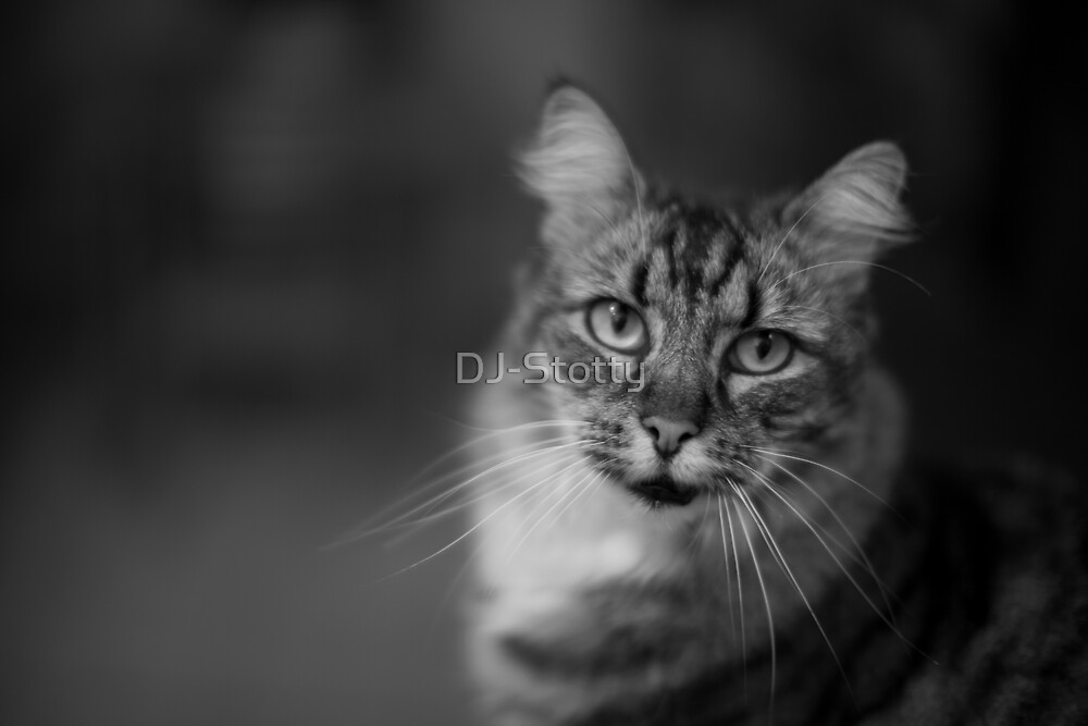 Portrait of a cat by DJ-Stotty