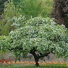 Dogwood and tulips, Dow Gardens, Midland,MI by Mary Westhoff