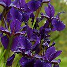 Siberian iris,  Dexter, MI by Mary Westhoff
