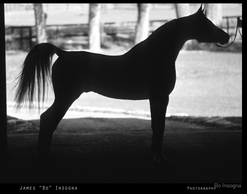 Arabian Horse Silhouette Black and White Print by Bo Insogna