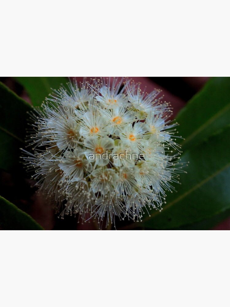 Backhousia citriodora by andrachne