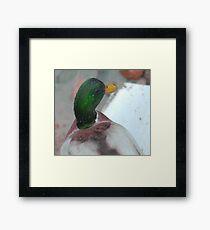 Silky mullard duck Framed Print