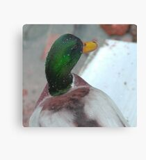 Silky mullard duck Canvas Print