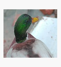 Silky mullard duck Photographic Print