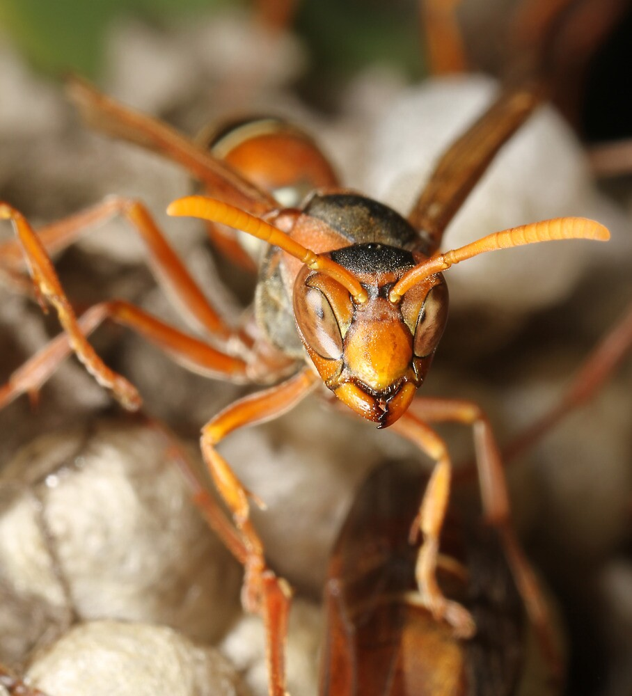 Paper Wasp  by Etwin