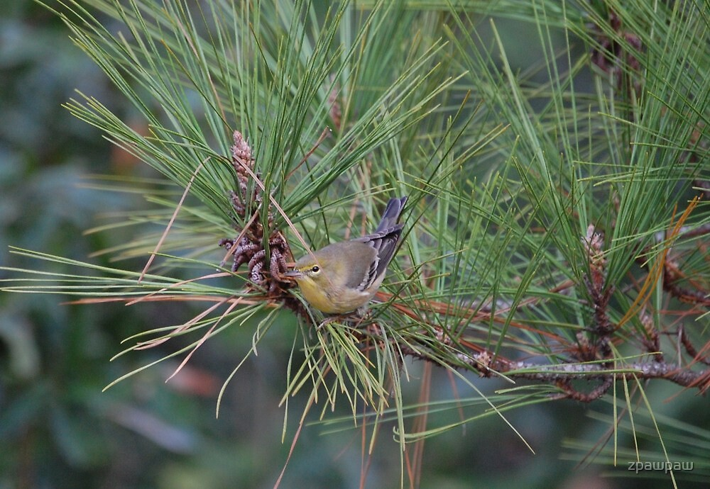 Pine Finch by zpawpaw