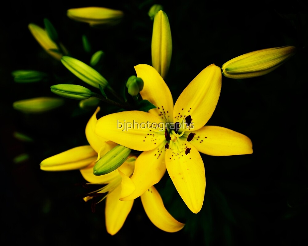 Yellow Lily Blooming, Lilie lilium by bjphotographs