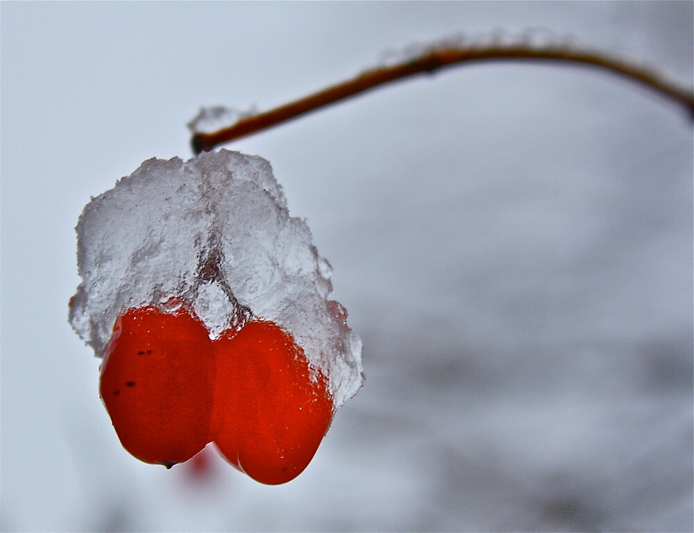 Cold Red Berries by Marcella Hadden