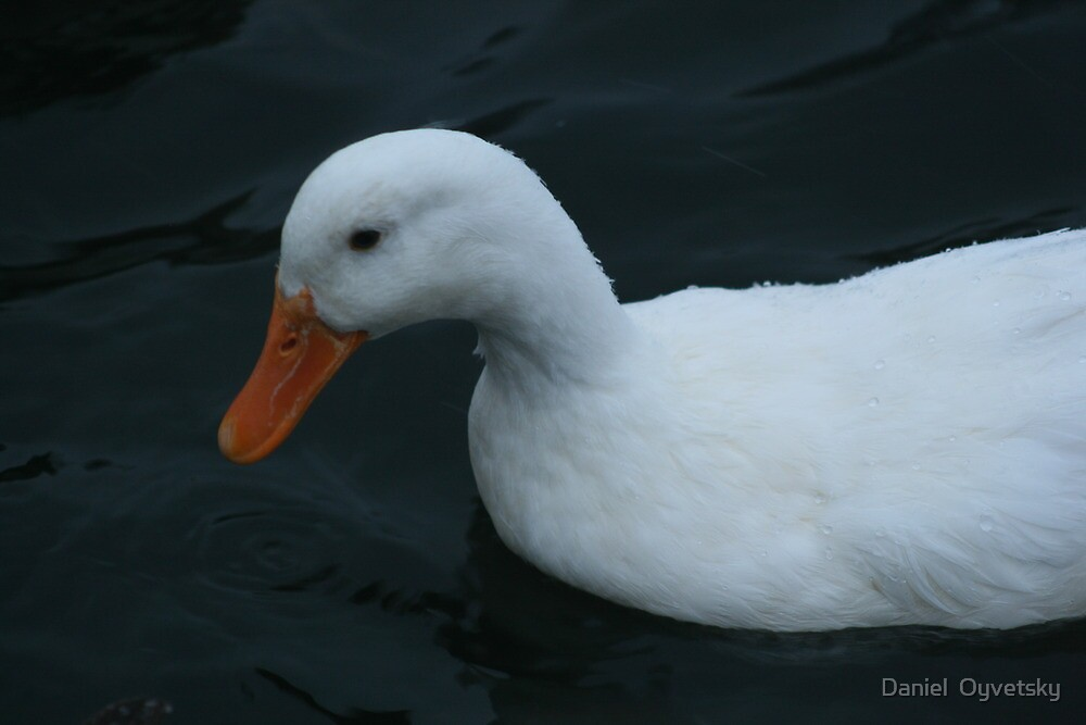 White Duck Looking into Water  by Daniel  Oyvetsky