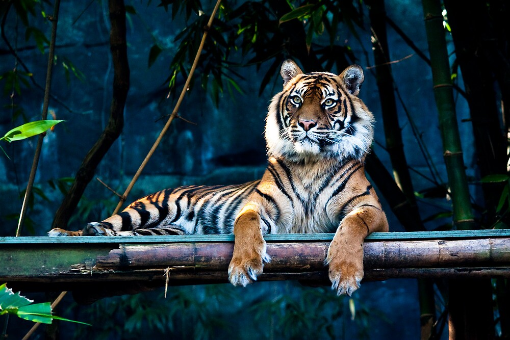 the tiger rests by shaun965