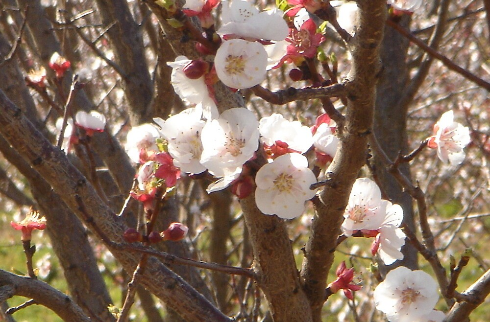 blossoms by cesca