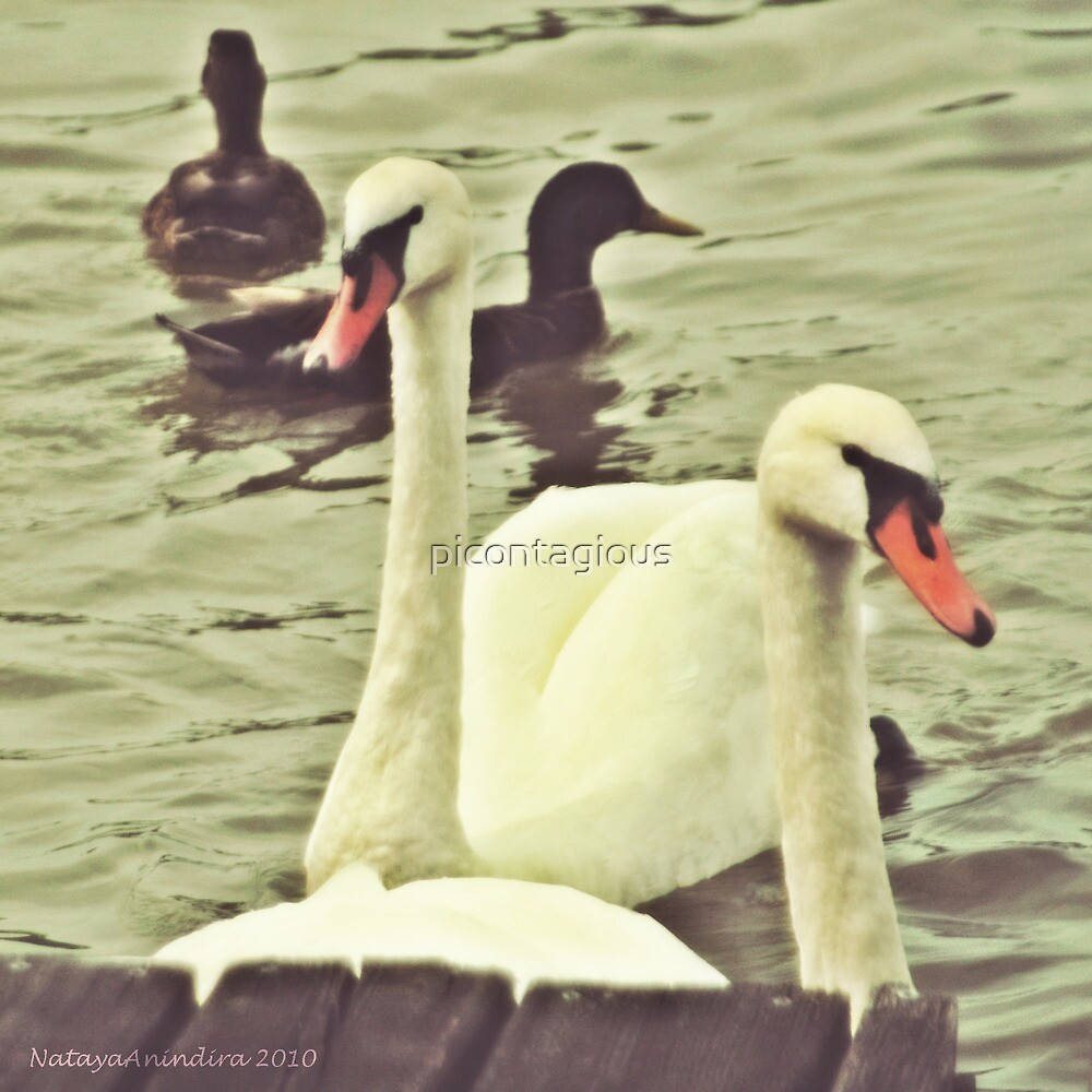 Not the Ugly Duck by picontagious