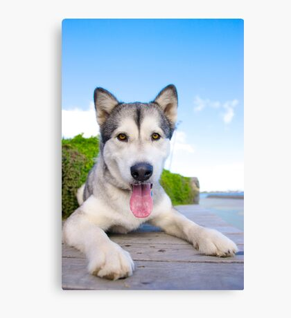 Chardy the Malamute Canvas Print