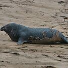 Elephant Seal on the California Beach Near Big Sur by Susan Russell