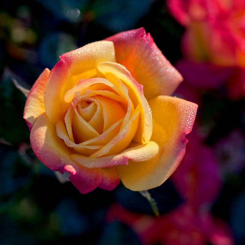 Flowering Rose by John Noel