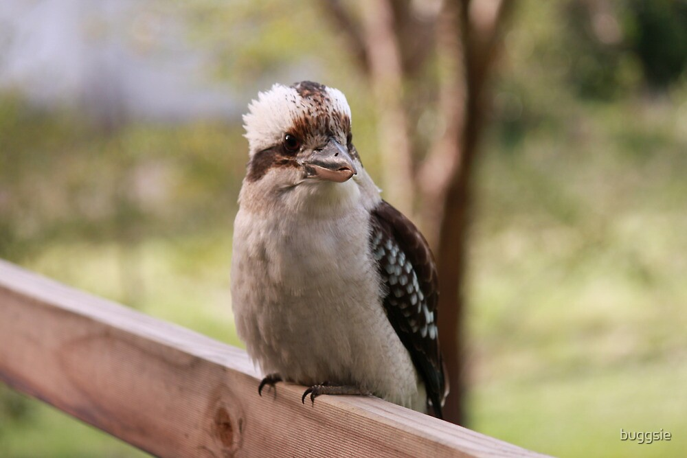 Kookaburra  by buggsie